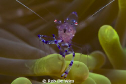 Pregnant Shirmp in an Anemone, 60 mm macro lense, Wakatob... by Rob De Vries 